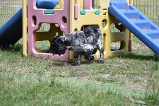 Shorty-Cocker Spaniel-Banksia Park Puppies - 33 of 37