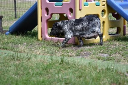 Shorty-Cocker Spaniel-Banksia Park Puppies - 34 of 37