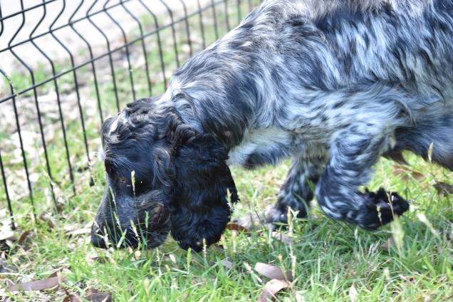 Shorty-Cocker Spaniel-Banksia Park Puppies - 37 of 37