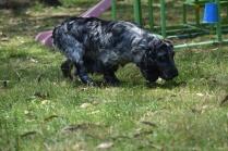 Shorty-Cocker Spaniel-Banksia Park Puppies - 5 of 37