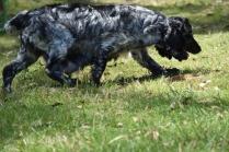 Shorty-Cocker Spaniel-Banksia Park Puppies - 6 of 37