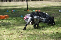Shorty-Cocker Spaniel-Banksia Park Puppies - 7 of 37