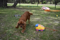 Dana-Cavalier-Banksia Park Puppies - 14 of 37