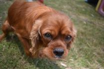 Dana-Cavalier-Banksia Park Puppies - 15 of 37