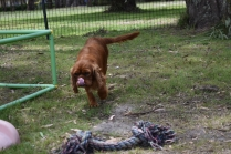 Dana-Cavalier-Banksia Park Puppies - 20 of 37