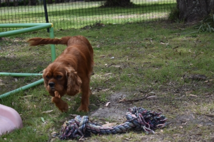 Dana-Cavalier-Banksia Park Puppies - 21 of 37