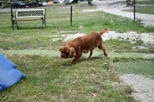 Dana-Cavalier-Banksia Park Puppies - 22 of 37