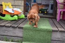 Dana-Cavalier-Banksia Park Puppies - 26 of 37