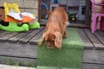 Dana-Cavalier-Banksia Park Puppies - 27 of 37