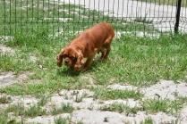 Dana-Cavalier-Banksia Park Puppies - 28 of 37