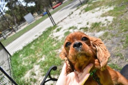 Dana-Cavalier-Banksia Park Puppies - 3 of 37