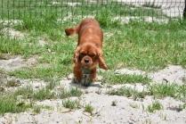 Dana-Cavalier-Banksia Park Puppies - 30 of 37