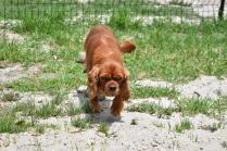 Dana-Cavalier-Banksia Park Puppies - 31 of 37
