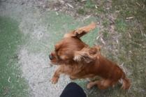 Dana-Cavalier-Banksia Park Puppies - 33 of 37