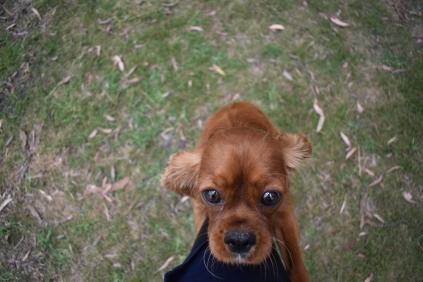 Dana-Cavalier-Banksia Park Puppies - 34 of 37