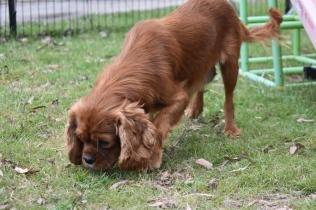Dana-Cavalier-Banksia Park Puppies - 36 of 37