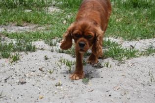 Dana-Cavalier-Banksia Park Puppies - 37 of 37