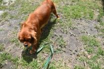 Dana-Cavalier-Banksia Park Puppies - 4 of 37