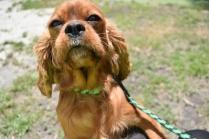 Dana-Cavalier-Banksia Park Puppies - 5 of 37