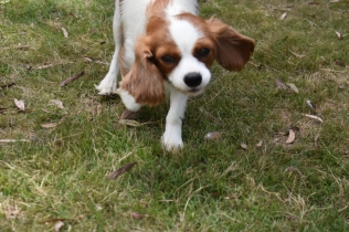 Dani-Cavalier-Banksia Park Puppies - 10 of 37
