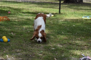 Dani-Cavalier-Banksia Park Puppies - 15 of 37