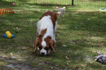 Dani-Cavalier-Banksia Park Puppies - 17 of 37