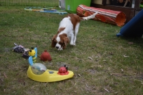 Dani-Cavalier-Banksia Park Puppies - 21 of 37