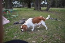 Dani-Cavalier-Banksia Park Puppies - 24 of 37