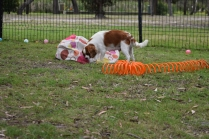 Dani-Cavalier-Banksia Park Puppies - 27 of 37