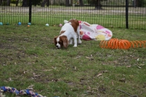 Dani-Cavalier-Banksia Park Puppies - 28 of 37