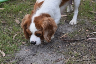 Dani-Cavalier-Banksia Park Puppies - 32 of 37