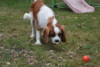 Dani-Cavalier-Banksia Park Puppies - 34 of 37