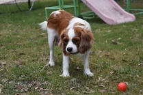 Dani-Cavalier-Banksia Park Puppies - 36 of 37