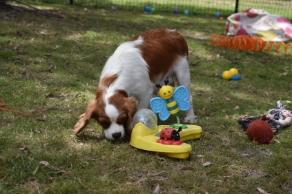Dani-Cavalier-Banksia Park Puppies - 9 of 37
