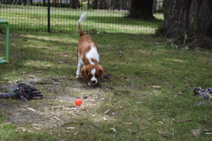 Dede-Cavalier-Banksia Park Puppies - 10 of 51