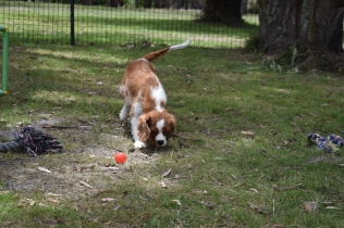Dede-Cavalier-Banksia Park Puppies - 11 of 51
