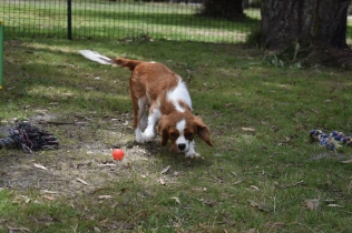 Dede-Cavalier-Banksia Park Puppies - 12 of 51