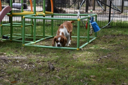 Dede-Cavalier-Banksia Park Puppies - 19 of 51