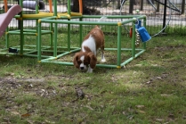 Dede-Cavalier-Banksia Park Puppies - 20 of 51