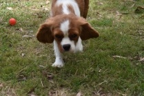 Dede-Cavalier-Banksia Park Puppies - 25 of 51