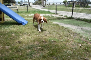 Dede-Cavalier-Banksia Park Puppies - 32 of 51