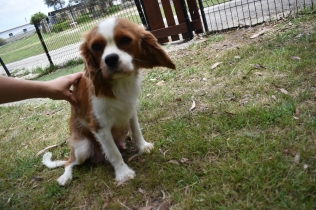 Dede-Cavalier-Banksia Park Puppies - 33 of 51