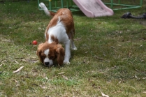 Dede-Cavalier-Banksia Park Puppies - 46 of 51