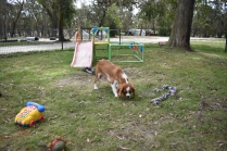 Dede-Cavalier-Banksia Park Puppies - 50 of 51