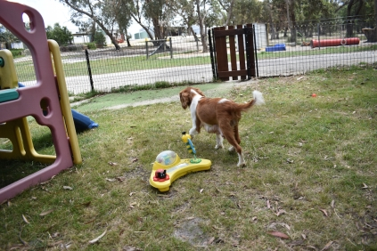 Dede-Cavalier-Banksia Park Puppies - 51 of 51