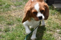 Dede-Cavalier-Banksia Park Puppies - 9 of 51