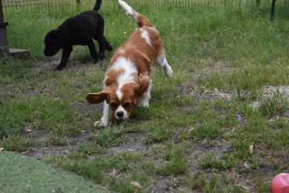 Dodi-Cavalier-Banksia Park Puppies - 1 of 23