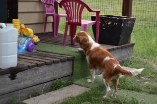 Dodi-Cavalier-Banksia Park Puppies - 10 of 23