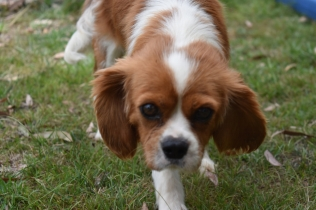 Dodi-Cavalier-Banksia Park Puppies - 11 of 23