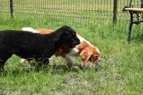 Dodi-Cavalier-Banksia Park Puppies - 14 of 23